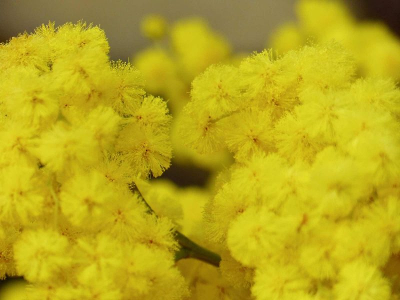 Panima Verlag - Weltfrauentag - Blume Mimose